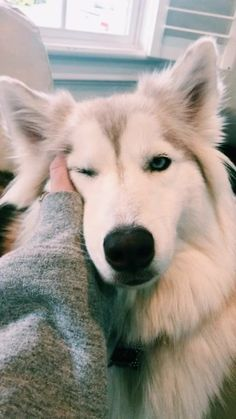 Baby Animals, Funny Animals, Cute Animals, Funniest Animals, Baby Huskys, Cute Puppies, Dogs And Puppies, Pet Dogs, Dog Cat
