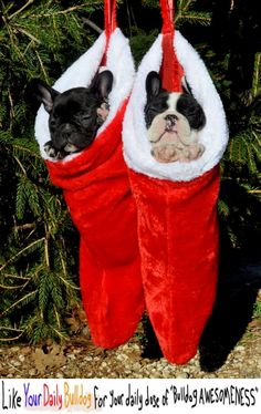 French Bulldog Christmas Stocking.91 Best A Very Frenchie Christmas Images French Bulldog