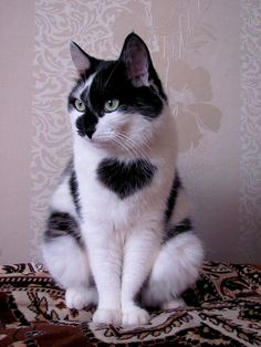 """black and white """"heart"""" cat"""