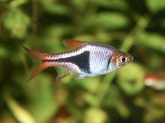 Harlequin Rasbora (Trigonostigma heteromorpha)