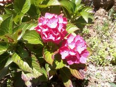 hortencia rosada