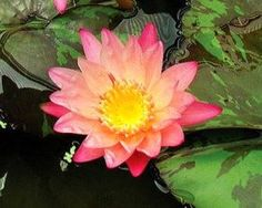 Planting water lilies is easy with our step by step instructions. Learn the proper way to plant water lilies in pots, or in rock planting corrals.