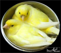 "I love canaries. My mom always had one and ""their"" name was always Billy."