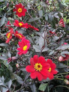 Baptême du dahlia 'À la folie' (Label Rouge) Excellence Végétale http://www.pariscotejardin.fr/2015/09/bapteme-du-dahlia-a-la-folie-label-rouge/