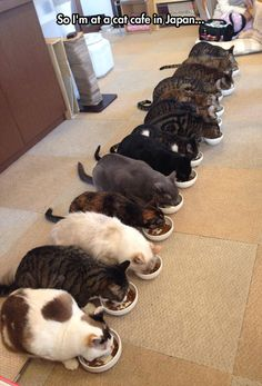 Funny pictures about Kitty Cafe In Japan. Oh, and cool pics about Kitty Cafe In Japan. Also, Kitty Cafe In Japan photos. Cool Cats, I Love Cats, Crazy Cats, Hate Cats, Funny Cats, Funny Animals, Cute Animals, Funny Humor, Cat Cafe Japan