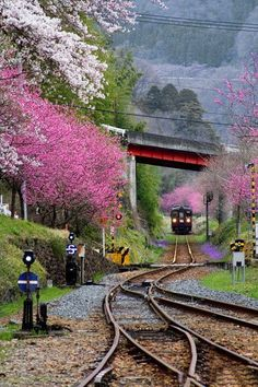 thekimonogallery: Spring in Japan: train glides/rumbles through the cherry-blossoms