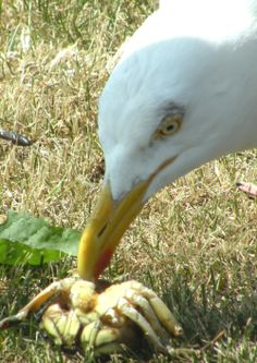 Vogelkunde: Silbermöwen muss man im Auge behalten (Foto ( Jürgensen ) : Silbermöwe zerlegt einen erbeuteten Krebs)