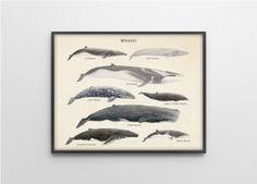 Wale Arten - wissenschaftlicher Art Print - Vintage pädagogische wissenschaftliche Specimen Poster - andere Größen