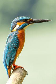 Kingfisher by Boris