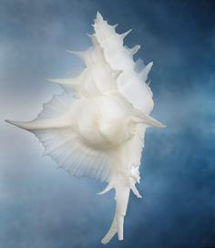 "From ""Shells: Nature's Exquisite Creations"" -- Joyce Tenneson Photography"