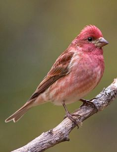 Purple Finch (Haemorhous purpureu). This pretty rose-colored songbird inhabits coniferous/mixed forest in Canada and the northeastern United States, as well as some wooded areas along the Pacific coast. ()