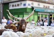 Cabras y ovejas protestan contra los lobos.