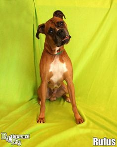 RUFUS (sweeter than sweet) AKRON, OHIO..Meet Rufus a Petfinder adoptable Boxer Dog | Akron, OH | What a mature CHARMER!!!  Did you know that approximately 25% of all dogs and puppies in a shelter...
