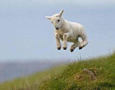 """kc8emh: """" #sheep #Photography (at Albion, Michigan) """""""