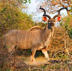 Kudu. The most magestic antelope in the world. Stylish, proud, manly and attentive.....