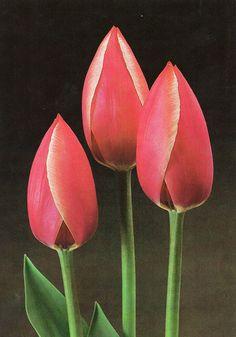 Tulip «Eric Hofsjö»