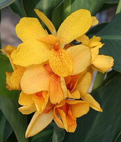 Canna Tenerife.Tropical look for the border