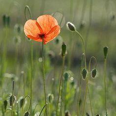 ✿ Orange Flowers ✿ Morning poppy