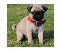 Pin By Free Classified On Adzscouk Pug Puppies Pugs Pup