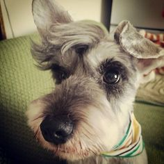 Ranked as one of the most popular dog breeds in the world, the Miniature Schnauzer is a cute little square faced furry coat. Schnauzer Cut, Schnauzer Grooming, Miniature Schnauzer Puppies, Pet Grooming, Sweet Dogs, Cute Dogs, Schnauzers, Miniature Schnauzer Black, Dog Grooming Styles
