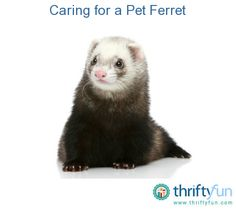 This guide is about caring for pet ferrets. Many people enjoy ferrets as pets, but a number of things need to be considered to make them comfortable and safe.