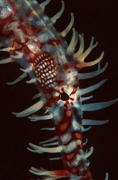 Ornate Ghost Pipefish (Solenostomus paradoxus) « AdamAqua Marine Underwater…