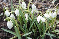 Kevään ensimmäiset kukat Plants, Plant, Planets