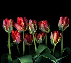 ANOTHER SONG AND DANCE of TULIPS... by Magda indigo, via 500px
