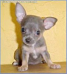 Inside this CHIHUAHUA PUPPIES gallery album you can enjoy large number pictures that you can talk about, rate/comment upon. Post + talk about your Chihuahua Puppies pics and ask questions for advice & even instructions. Teacup Chihuahua Puppies, Cute Puppies, Cute Dogs, Dogs And Puppies, Teacup Pomeranian, Doggies, Chihuahua Love, Pets, Chihuahua Dogs
