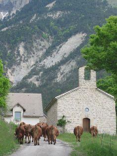 Les belles de la ferme de Baumugnes rentrent au bercail, passage obligé devant la chapelle. Saint-Julien en Beauchène #buech Chapelle, Provence, Mountains, Farm Gate, Provence France