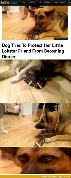 Dog protecting lobster from becoming food