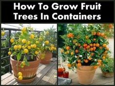 How To Grow Fruit Trees In Containers by AislingH