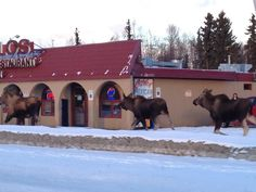Only in Alaska!   Looks like they are stopping in for a little Mexican feast