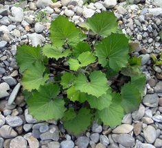 Huflattich ist eine der ersten Pflanzen, die den Frühling ankündigen. Finde heraus, wie du dieses Kraut in der Küche, im Haushalt und zur Heilung nutzt - Bild Bogdan [GFDL or CC-BY-SA-3.0]