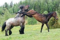 Les sauts sur place et les défenses - Un cheval qui repousse un congénère en effectuant une ruade