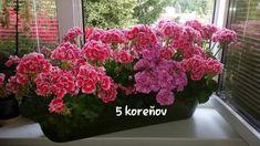 Pani Monika má muškáty ako z rozprávky: Prezradila nám jej tajomstvo bujarého kvitnutia, teraz to môže vyskúšať každý! Quilling, Floral Wreath, Gardening, Wreaths, Plants, Home Decor, Balcony, Bedspreads, Floral Crown