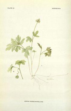 v. 1 1916 - Addisonia : - Biodiversity Heritage Library