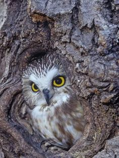 Northern Saw-Whet Owl in a Tree Hollow (Aegolius Acadius), North America Owl Photos, Owl Pictures, Owl Bird, Pet Birds, Saw Whet Owl, Nocturnal Birds, Barred Owl, Beautiful Owl, Wise Owl