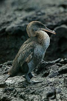 Flightless Cormorant | Flickr - Photo Sharing!