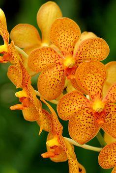 Mokara Chark Kuan 'Orange' Orchid