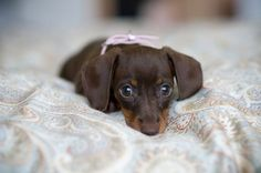 Smooth Dachshund.