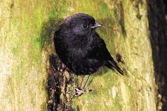 Black-Robin