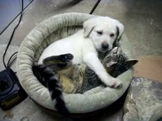 video of lab puppy and cat snuggling. SO CUTE