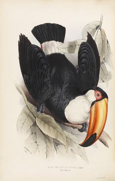 18 Toco Toucan (Ramphastus toco) From John Gould FRS, A Monograph of the Ramphastidæ, or Family of Toucans (London, The Royal Society Science Illustration, Nature Illustration, Botanical Illustration, Toco Toucan, Scientific Drawing, Historia Natural, Street Art, Nature Artists, Fauna