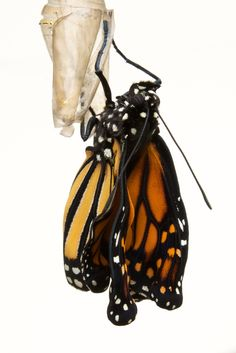 Monarch Butterfly emerged from its chrysalis. It hangs on and twists and turns, pumping its wings, until they are dry enough for it to soar