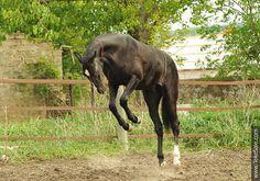 Akhal-teke horses for sale - Rami-Shael(Saivan - Rursi-Shael)
