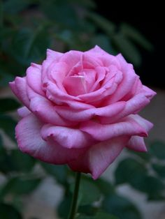 Our Lady of Yankalilla rose named after Mary Helen MacKillop, also known as St Mary of the Cross. Beautiful Rose Flowers, Exotic Flowers, Amazing Flowers, Beautiful Gardens, Beautiful Flowers, Purple Roses, Pink Flowers, Rose Pictures, Flower Names