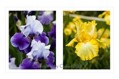Vibrant Yellow Iris Purple Iris Flowers  by PhotosbyJerryCowart, $32.50 MORE OF MY AWARDWINNING PHOTOGRAPHS CAN BE SEEN AND PURCHASED ON MY WEBSITE: http://jerry-cowart.artistwebsites.com/