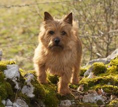 The Westminster Kennel Club | Breed Information: Norwich Terrier