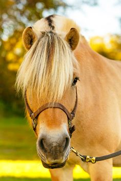 Daily Dose - January 4, 2016 - A Study in Gold on Gold - Norwegian Fjord Horse   2016©Barbara O'Brien Photography